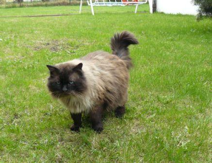 Miot D Figlarne Kociakipl Hodowla Kotów Rasowych Koty
