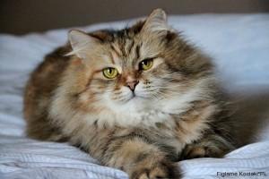 Syberyjski Klasyczny Figlarne Kociakipl Hodowla Kotów Rasowych