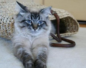W Nowych Domach Figlarne Kociakipl Hodowla Kotów Rasowych Koty