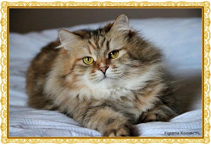 Figlarne Kociakipl Hodowla Kotów Rasowych Koty Syberyjskie